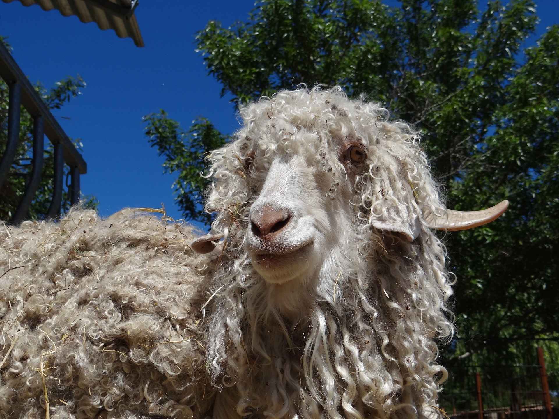Chèvre Angora
